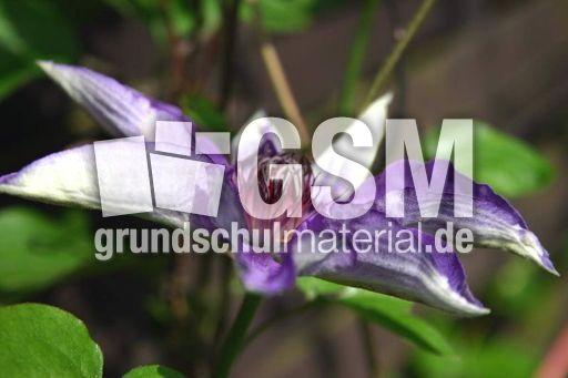 clematis lila 4 pflanzen und blumen fotos pflanzen. Black Bedroom Furniture Sets. Home Design Ideas