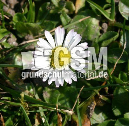 Gaensebluemchen-1 - Pflanzen und Blumen - Fotos Pflanzen ...