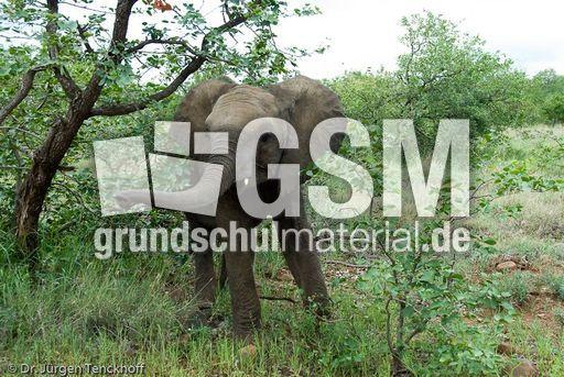 Afrikanischer Elefant (111 von 131) - Afrikanischer ...