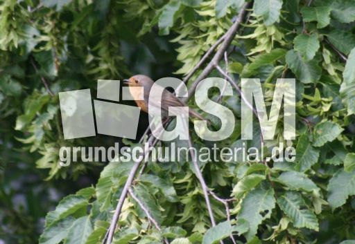rotkehlchenbaum1 sperlingsv246gel neukieferv246gel