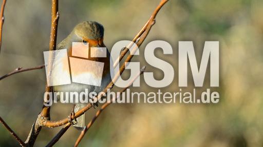rotkehlchen 3  vögel im winter  vögel aves  fotos