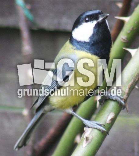 C-Kohlmeise-036 - Vu00f6gel im Winter - Vu00f6gel (Aves) - Fotos ...