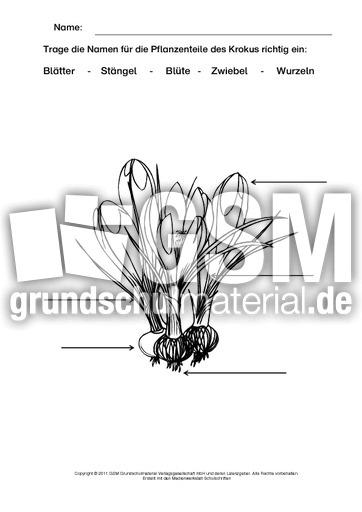 Krokus Beschriften Ausmalen Arbeitsblätter Frühblüher Frühling