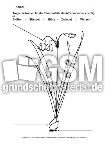 Märzenbecher Beschriften Ausmalen Arbeitsblätter Frühblüher
