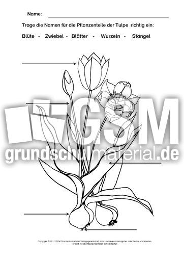 Tulpe Beschriften Ausmalen Arbeitsblätter Frühblüher Frühling