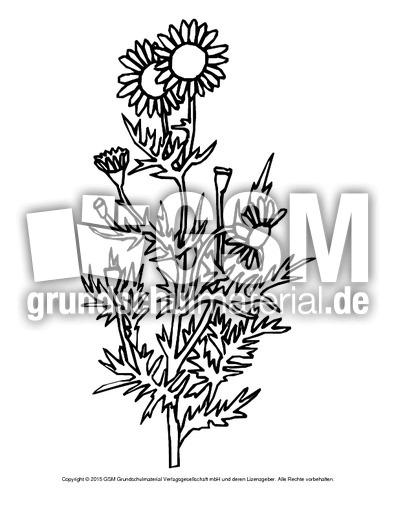 Ausmalbild Kamille Ausmalbilder Blumen Frühling Jahreszeiten