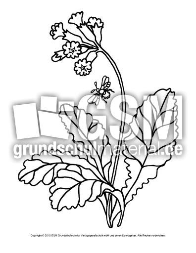 ausmalbildschlüsselblume1  ausmalbilder blumen