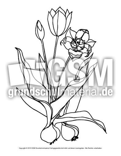 ausmalbild-tulpen-2 - ausmalbilder blumen - frühling