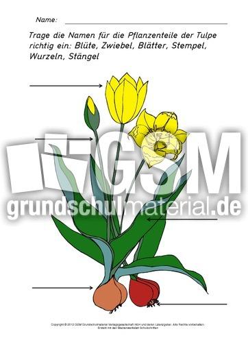 teile der tulpe beschriften 2 tulpe ab und sachtexte fr hlings tulpen werkstatt fr hling. Black Bedroom Furniture Sets. Home Design Ideas