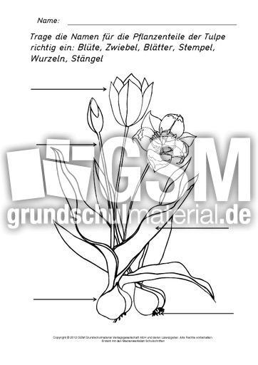 teile der tulpe beschriften ausmalen tulpe sachtexte fr hlings tulpen werkstatt fr hling. Black Bedroom Furniture Sets. Home Design Ideas