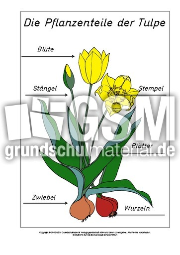 teile der tulpe beschriftet zusatzmaterial lapbook fr hlings tulpen werkstatt fr hling. Black Bedroom Furniture Sets. Home Design Ideas