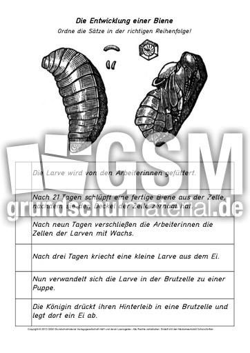 AB-Entwicklung-der-Biene - Arbeitsblätter-Honigbiene - Honigbiene ...