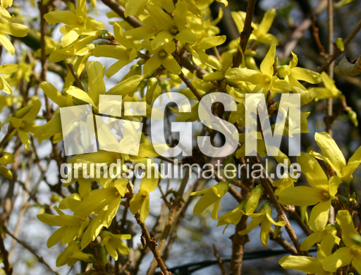 forsythien 3 blumen pflanzen fotos fr hling jahreszeiten hus klasse 3. Black Bedroom Furniture Sets. Home Design Ideas