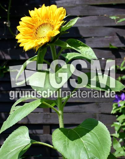 sonnenblume erblueht 4 blumen pflanzen fotos fr hling jahreszeiten hus klasse 3. Black Bedroom Furniture Sets. Home Design Ideas