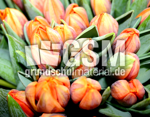 tulpen orange fr hbl her zwiebeln fotos fr hling. Black Bedroom Furniture Sets. Home Design Ideas
