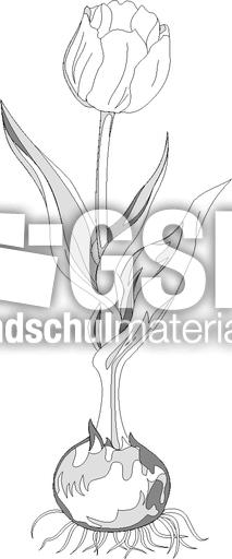 tulperaster zeichnungen fr252hbl252her fr252hling