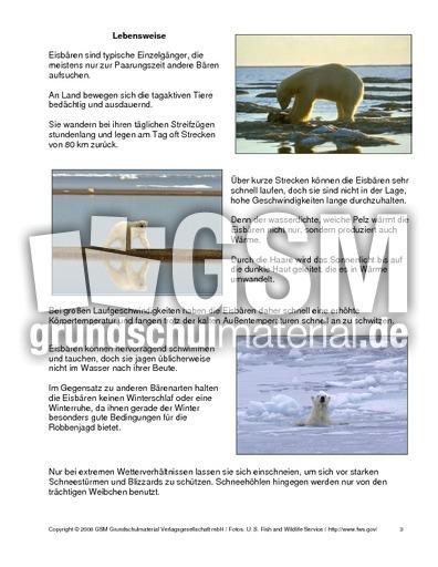 Eisbär-Steckbrief - Tiersteckbriefe - Lesen - Steckbriefe-Tiere ...