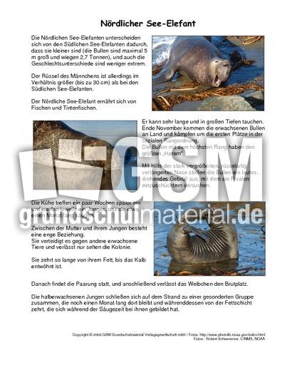 Nu00f6rdlicher-See-Elefant-Steckbrief - Tiersteckbriefe ...
