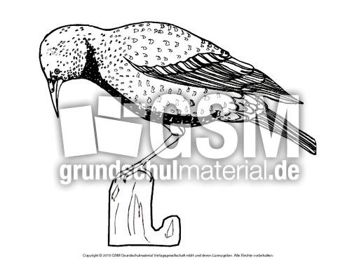 Ausmalbild Star Vögel Tiere Zum Ausmalen Ausmalbilder