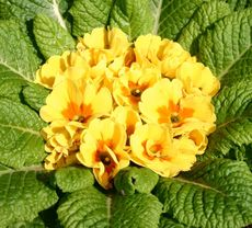 Primel Fruhbluher Fotos Pflanzen Grundschulmaterial De