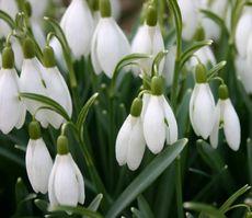 Schneeglockchen Fruhbluher Fotos Pflanzen Grundschulmaterial De
