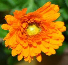 Ringelblume-orange.jpg
