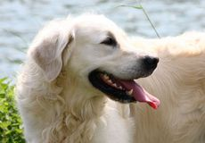 Golden-Retriever-070.jpg