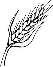 Weizen steckbrief