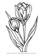 Tulpe In Der Grundschule Ausmalbilder Blumen Fruhling Jahreszeiten Hus Klasse 1 Grundschulmaterial De