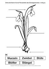 Frühblüher in der Grundschule - Arbeitsblätter - Das Schneeglöckchen ...