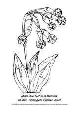 ausmalbild-schlüsselblume-1 - ausmalbilder blumen - frühling - jahreszeiten - hus klasse 1