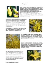Steckbrief-Forsythien.pdf