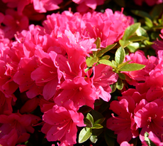 Rhododendron-rosa.jpg