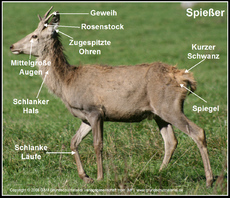 Hirsch (Grafik) in der Grundschule - HuS - Unterrichtsmaterial ...